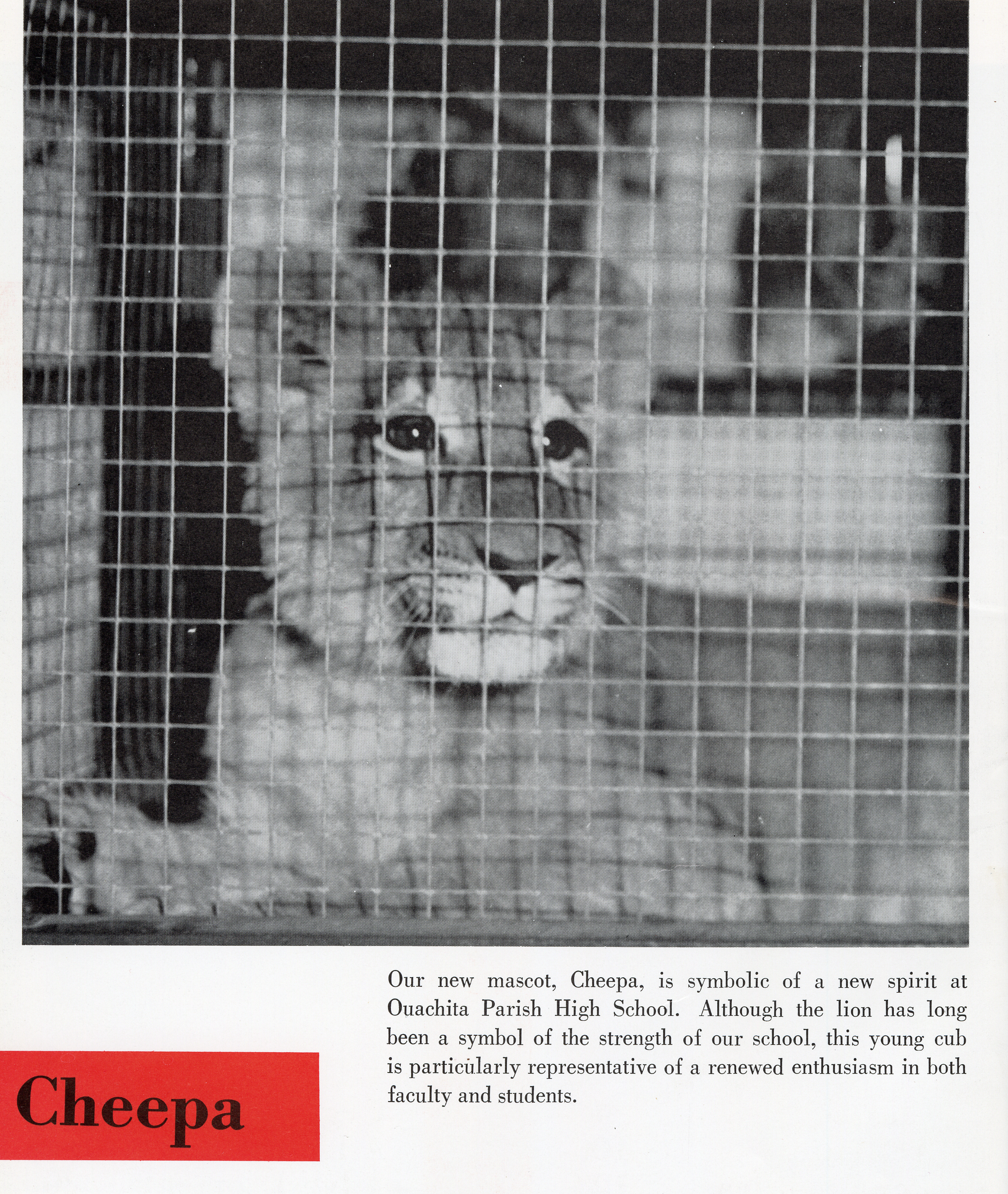 """A scan from the 1964 Roarer yearbook. A lion cub is behind a cage. The caption reads, """"Our new mascot, Cheepa, is symbolic of a new spirit at Ouachita Parish High School. Although the lion has long been a symbol of the strength of our school..."""