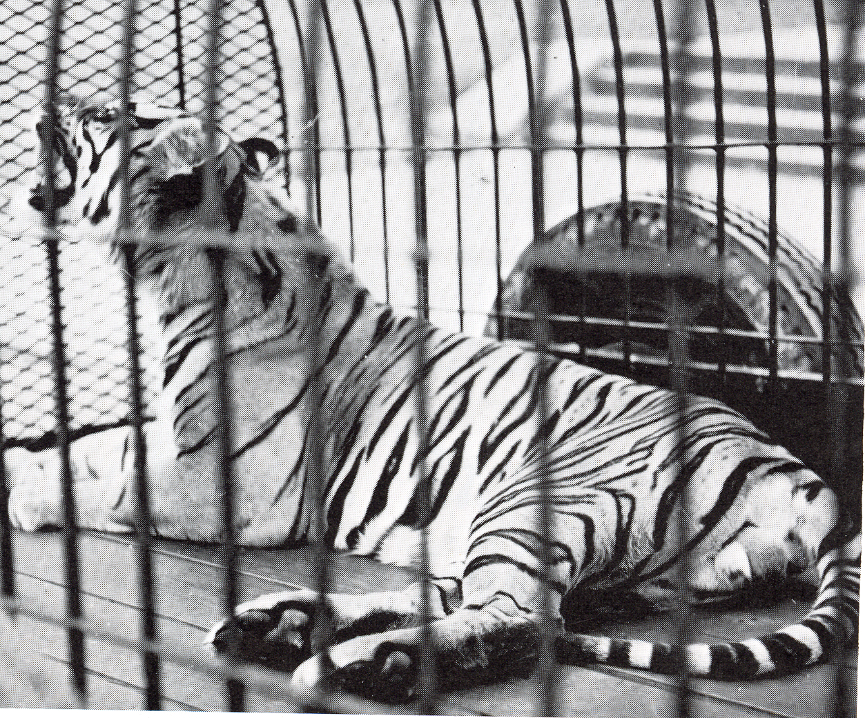 A scan of the 1969 Monroyan yearbook. Shasta the tiger lays in a trailer.