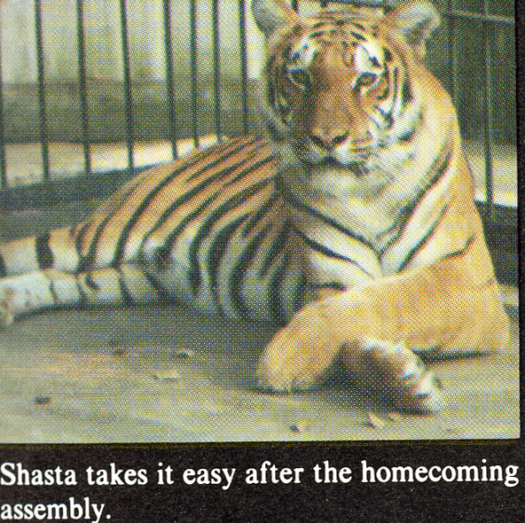 A scan from the 1980 Monroyan yearbook. The tiger Shasta lays on the ground with paws crossed.